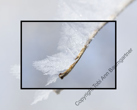 Angel Wing Hoarfrost